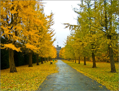 Avenue of Ginkgo trees in Bute Park
