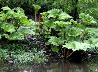 Photo of Giant Rhubarb