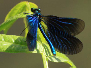 Photo of male damselfly