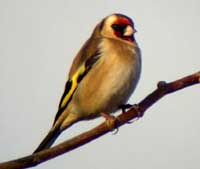 photo_of_goldfinch