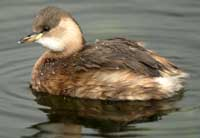 photo_of_little_grebe