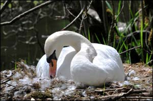 Photo of swan nesting at Llyn Tan-y-Pant
