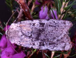 Photo of Ashworths Rustic moth